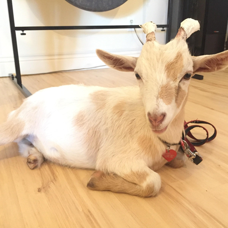 Private-Yoga-Instructor-Los-Angeles-Santa-Monica-Goat-Yoga-Pippin-min