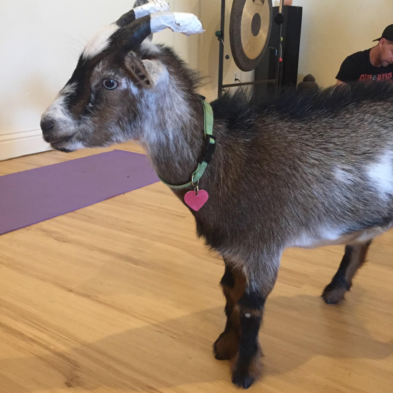 Goat Yoga Private Yoga Instructor Los Angeles Santa Monica Brentwood Pacific Palisades Bel Air Venice Marina del Rey